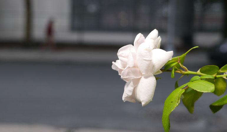 flower-surasa2