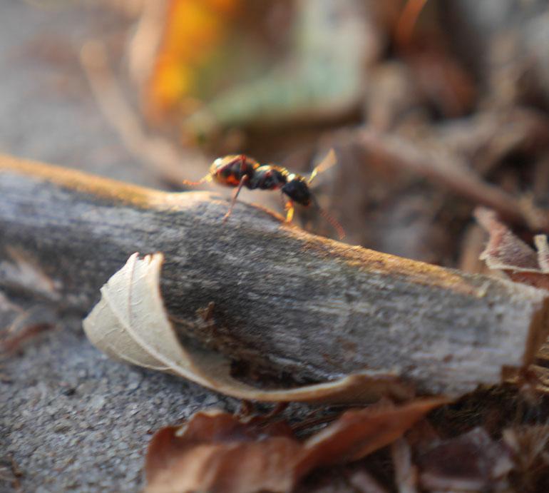 flower-ant