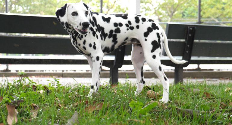 flower-dog