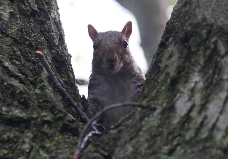 squirrel-1280372
