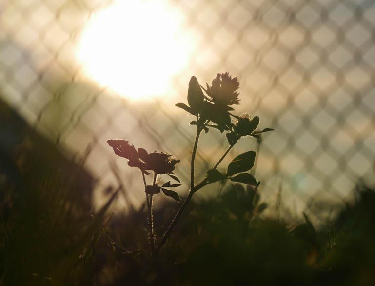 sun flower-1290887