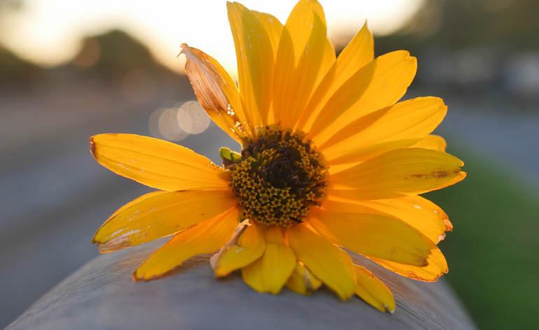 flower dawn-1410608